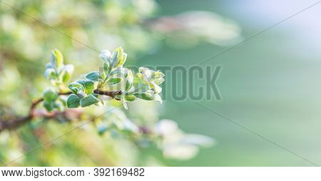 Green Leaf On A Bush As An Abstract Spring Background.
