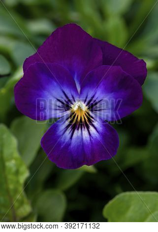 Single Pretty Purple Viola In A Vertical Format  Shot For A Background With Copy Space