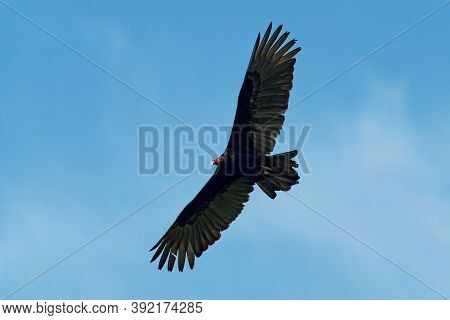Turkey Vulture - Cathartes Aura Also Known As The Turkey Buzzard And In Some Areas Of The Caribbean