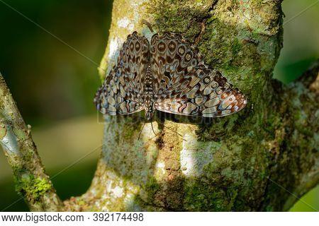 Butterfly Hamadryas Feronia - Blue Cracker Or Variable Cracker, Species Of Cracker Butterfly In The