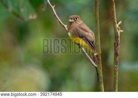 Trogon Rufus - Black-throated Trogon, Also Yellow-bellied Trogon, Near Passerine Bird In The Trogon