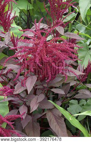 Red Amaranth (amaranthus Cruenthus). Called Purple Amaranth And Blood Amaranth Also