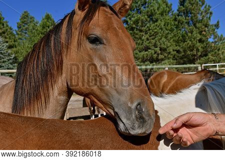A Rancher Extends A Hand To A Horse Within A Pack.