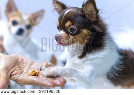 Puppy Chihuahua Eat Food From Hand,training,feeding Pet Concept,feeding The By Hand,dogs Look At Foo