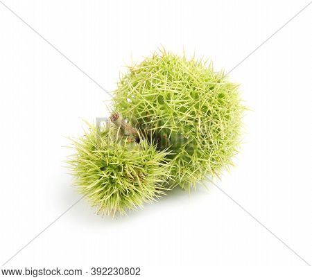 Fresh Sweet Edible Chestnuts In Green Husk On White Background