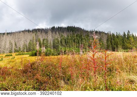 Mountain Glade Autumn Landscape With Red Fireweed (chamaenerion Angustifolium) Flowers And Dry Grass