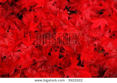 Red Maple Leaves Background