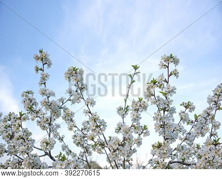 White Flowers On A Spring Blooming Tree Against The Sky.