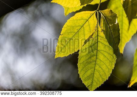 Beautiful Autumn Leaves And Plants Backlit. Yellow Leaves In The Sun.