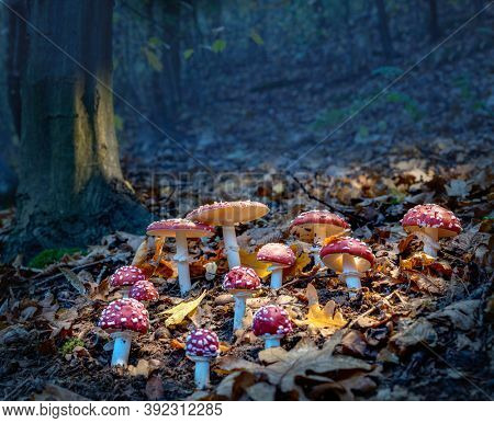 Fly agarics glow in the soft evening light.