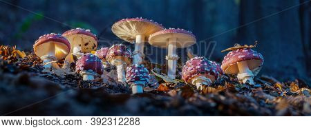 Fly agarics glow in the soft evening light. Panoramic image.
