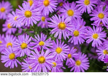 Purple Flowers Of Italian Asters, Michaelmas Daisy Aster Amellus , Known As Italian Starwort, Fall A