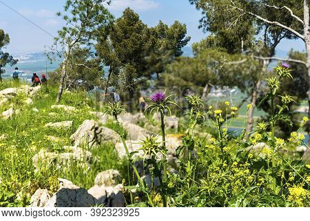 Burdock Thorny Purple Flowers. Blooming Medicinal Plant Burdock (arctium Lappa, Greater Burdock, Edi