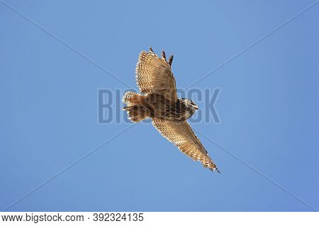 Cape Eagle Owl Bubo Capensis, Adult In Flight Against Blue Sky, Underside