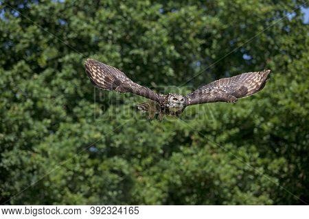 Cape Eagle Owl Bubo Capensis, Adult In Flight