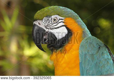 Blue-and-yellow Macaw, Ara Ararauna, Portrait Of Adult