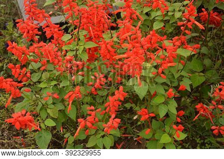 Salvia Flowers, Beautiful Red Flowers, Bouquet Of Flowers And Green Leaves.