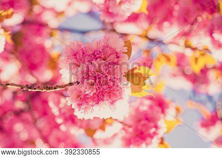 Cherry Blossom. Sacura Cherry-tree. Branch Delicate Spring Flowers. Springtime. Spring Flowers With