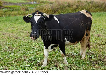 A Curious Dairy Cow Stands In Her Pasture. Dairy Cow. A Curious Dairy Cow.