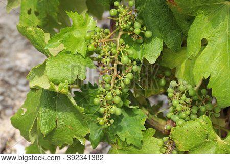 Peljesac Vineyard. Croatia Wine Making Region Landscape. Europe Viticulture.