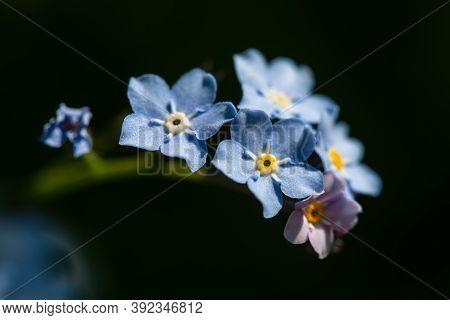 Field Forget-me-not (myosotis Arvensis) In The Spring Garden