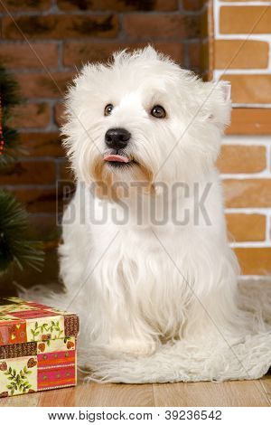 West haigland white terrier with christmass-tree decorations poster