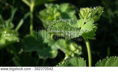 Dewdrops On A Large Green Leaf. Morning In The Caucasus Mountains