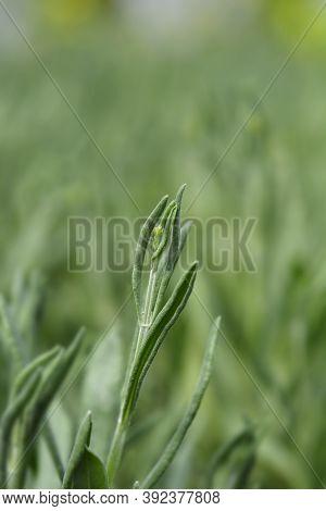 Common Lavender Flower Bud - Latin Name - Lavandula Angustifolia (lavandula Officinalis)