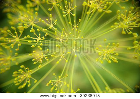 abstract bloom center dill fennel green line macro plant seed yellow