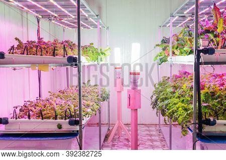 Organic Hydroponic Farming. Interior Of The Farm Hydroponics. Vegetables Farm In Hydroponics. Hydrop