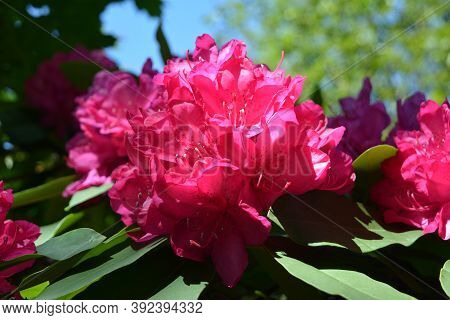 Beautiful Red Flowers Of Rhododendron In The Park Of The Castle Of Sychrov In The Czech Republic