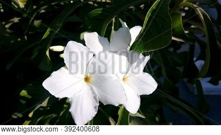 A Closeup White Cherokee Rose Flower (rosa Laevigata) With Pollen