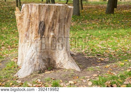 Stump On Green Grass In The Park Or Forest. Old Tree Stump In The Park