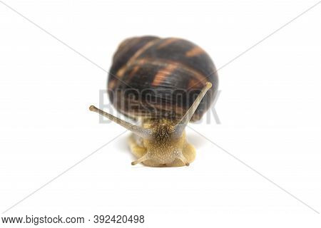 Snail Isolated On White. Garden Snail Escapes. White Background. Crawling Snail Isolated On A White