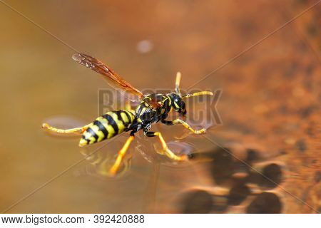 Yellow Wasp Drinks Water - Insects. Close Up Macro Shot Of Yellow Jacket Wasp Floating On Water