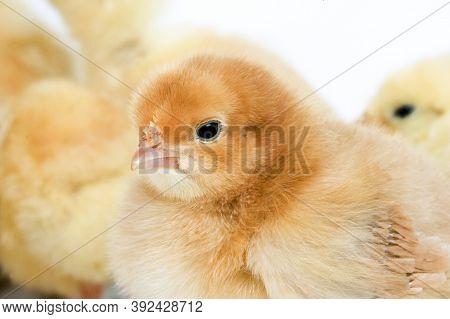 Portrait Of Chick Portrait Of Chick Portrait Of Chick