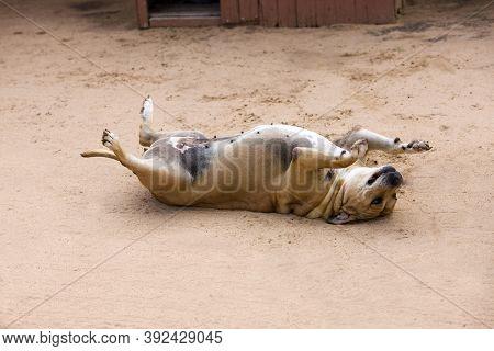 Obese Dog, Female Rolling, Namibia Obese Dog, Female Rolling, Namibia
