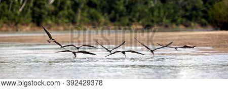 Black Skimmer Rynchops Niger, Group Fishing In Flight, Madre De Dios River In Manu Reserve, Peru