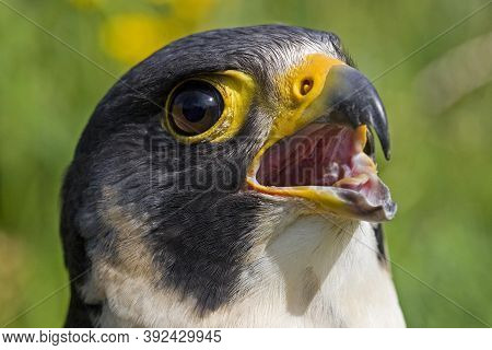 Peregrine Falcon Falco Peregrinus, Adult Calling Out