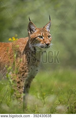 Siberian Lynx Lynx Lynx Wrangeli, Adult Siberian Lynx Lynx Lynx Wrangeli, Adult
