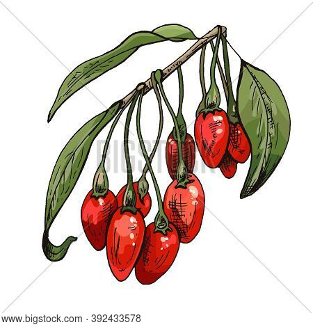 Branch Goji Berries With Leaves. Vector Color Vintage Hatching Illustration Isolated On A White Back