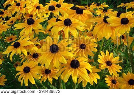 Yellow Flowers Rudbeckia Also Know As Black Eyed Susan Or Coneflower In The Garden On Sunny Summer D