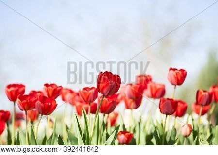 Beautiful Bouquet Of Tulips. Colorful Tulips. Tulips In Spring. Tulip In The Field