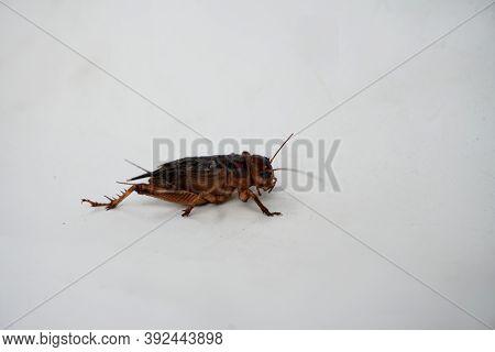 Closeup Cricket On A White Background Cricket Farming Of Thai Farmers.
