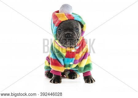 Black French Bulldog Puppy Over A White Background With Multicolor Clothes