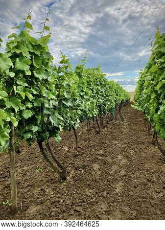 A Row Of Vineyards In Central Europe With Ripening White Wine. The Leaves Have A Deep Green Color An