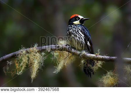 Acorn Woodpecker - Melanerpes Formicivorus Medium-sized Bird Woodpecker, Brownish-black Head, Back,