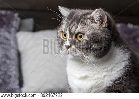 Lazy Beautifal British Shorthair Cat Sitting On A Couch In A Flat.