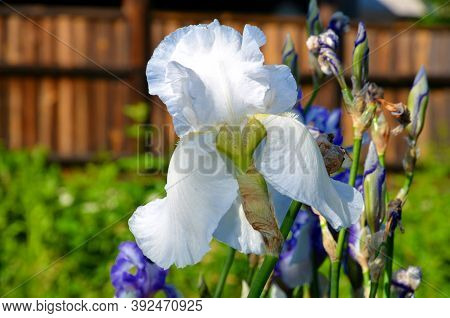 White With A Blue Tint Iris Flower On The Background Of A Wooden Fence.