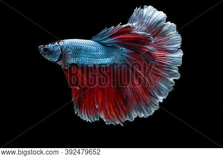 Colourful Betta Fish,siamese Fighting Fish In Movement Isolated On Black Background. Capture The Mov